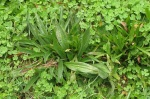 PlantainLeaves
